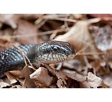 Black Rat Snake in Dead Leaves Photographic Print