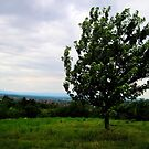 Lonely one tree in village Szada,Hungary,Europe,2011July by ambrusz