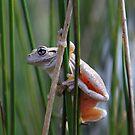 Peron,s Tree Frog by Donovan wilson