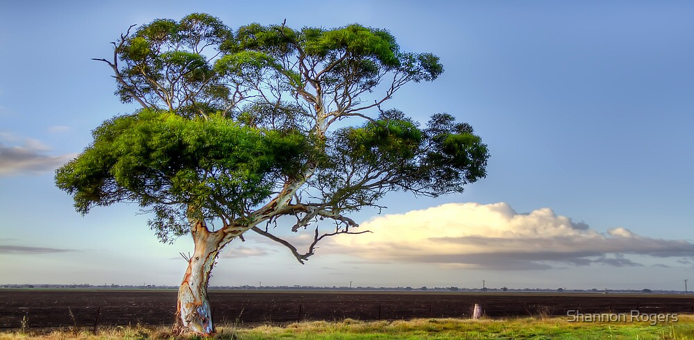 An Aussie Gumtree by Shannon Rogers