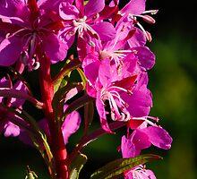 Wild Flower by SWEEPER