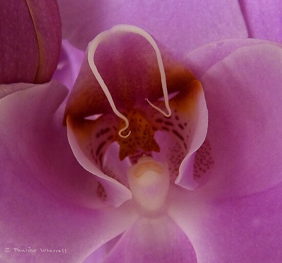 Lady of the orchid by Photos - Pauline Wherrell