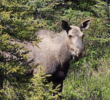 Moose in Kananaskis  by Teresa Zieba