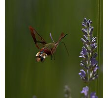 Broad-bordered Bee Hawkmoth Photographic Print
