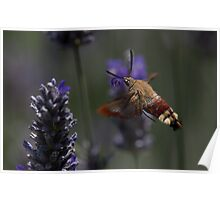Broad-bordered Bee Hawkmoth 2 Poster