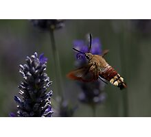 Broad-bordered Bee Hawkmoth 2 Photographic Print