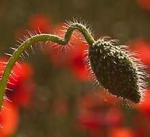 Poppy flower bud by Mike Ashton