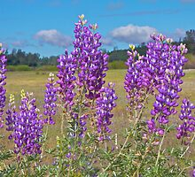 Lupines - With a View by John Butler