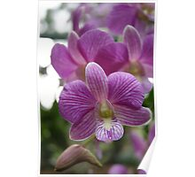Orchid, Singapore,  Poster