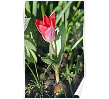 Tiptoe through the tulip Poster