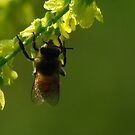 Dew Bee by swaby