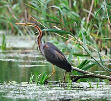 Purple Heron - Danube Delta, Romania by Derek McMorrine