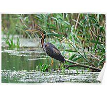 Purple Heron - Danube Delta, Romania Poster