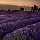 Lavender Sunrise by AndyCosway