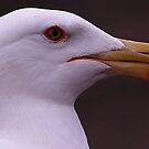 The Lesser Black Backed Gull by snapdecisions