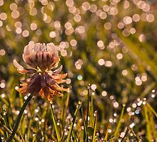 Champagne Clover by chemival