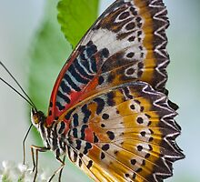 Lacewing by joelleherman