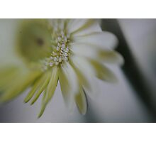lush white gerbera Photographic Print