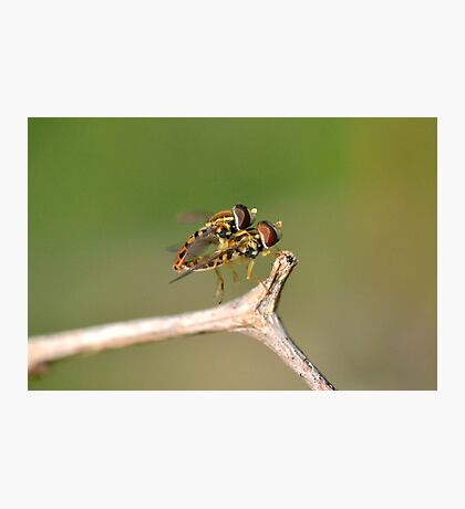 Hoverflies mating. Photographic Print