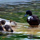 Eat All Your Dinner My Little Ducklings! by Carol Clifford