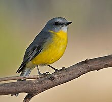 EASTERN YELLOW ROBIN 02 by DIZZYHEIGHTS