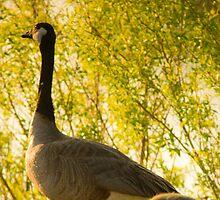 Goose & Gosling by John  De Bord Photography