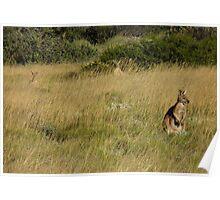 Euros (Macropus robustus) at Dusk - Cape Range National park, Western Australia Poster