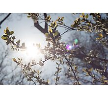 Blossom in the Spring Sun Photographic Print