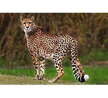 Cheetah - Taronga Western Plains Zoo Dubbo Photographic Print