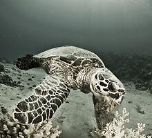 Reptile world, Hawks-bill turtle feeding by JonMilnes