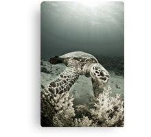 Reptile world, Hawks-bill turtle feeding Canvas Print