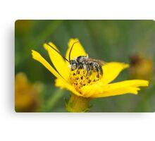 Eucerini Bee on Bidens flower Canvas Print