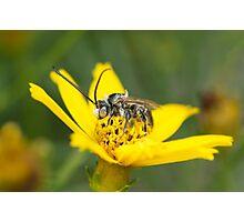 Eucerini Bee on Bidens flower Photographic Print