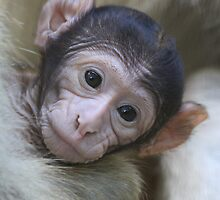 Baby Barbary Macaque  by DutchLumix