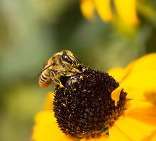 Megachile Bee on Black-eyed Susan by Annora Ayer