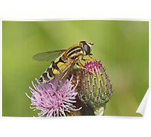 Hoverfly - Helophilus trivittatus Poster