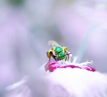 Agapostemon on Pink by Annora Ayer