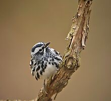 Black & White Warbler by Daniel  Parent