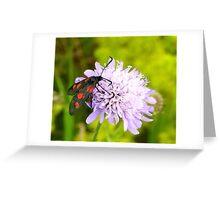burnet moth on wild scabious Greeting Card