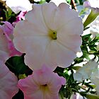 Pink and White Petunia's by Sherri Fink