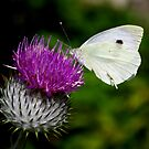 Thistle & Butterfly by Mark Wilson