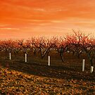 Peach Tree Sunset by Cyn  Valentine