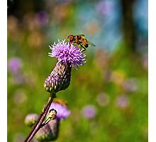 BEE ON THISTLE Photographic Print