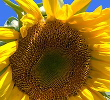 Sunflower in the Sun by Denise Bulone