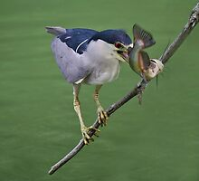 Black Crowned Night Heron with his Catch by Paulette1021