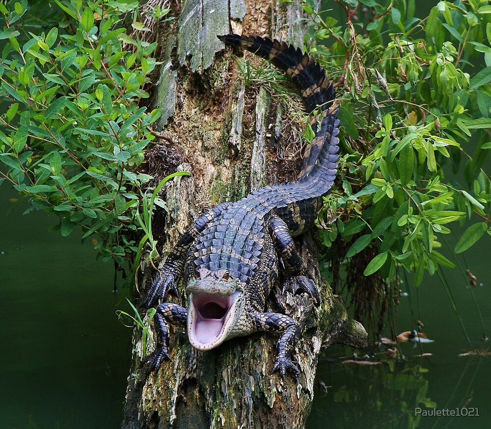 Baby Alligator says OPEN WIDE by Paulette1021