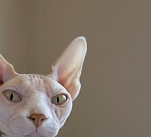 Opal, the Sphynx by Glennis  Siverson