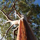 Warrimoo gum, in the Blue Mountains of NSW by Catherine Davis