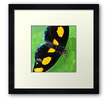 Orange Shoemaker Butterfly Framed Print