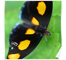 Orange Shoemaker Butterfly Poster